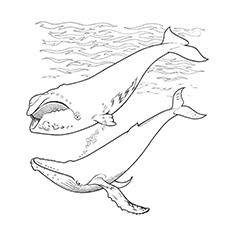 Desenhos para colorir Baleia - Baleia-piloto de barbatana curta