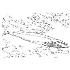 Desenhos para colorir Baleia - Baleia Sei