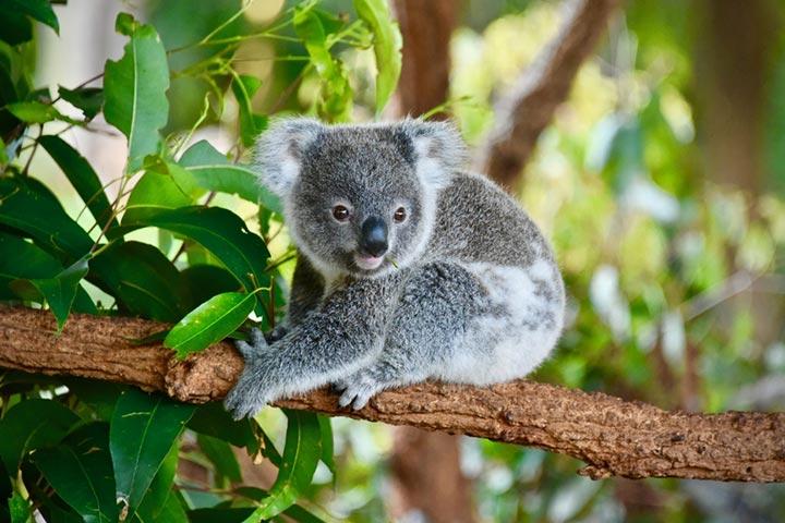 Fatos fascinantes sobre o urso coala