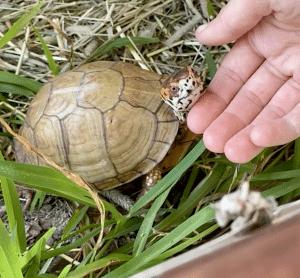 Caixa de esfregar de pescoço de tartaruga resgatada