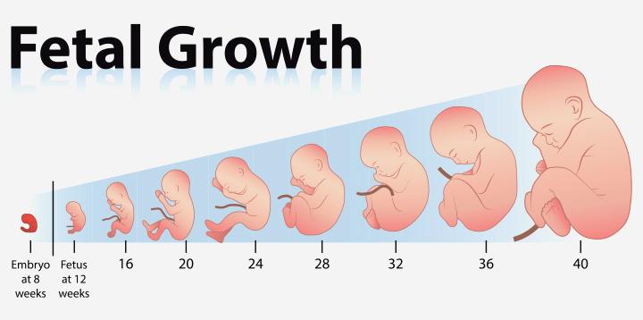 Gráfico de crescimento Comprimento e peso do feto Semana a semana